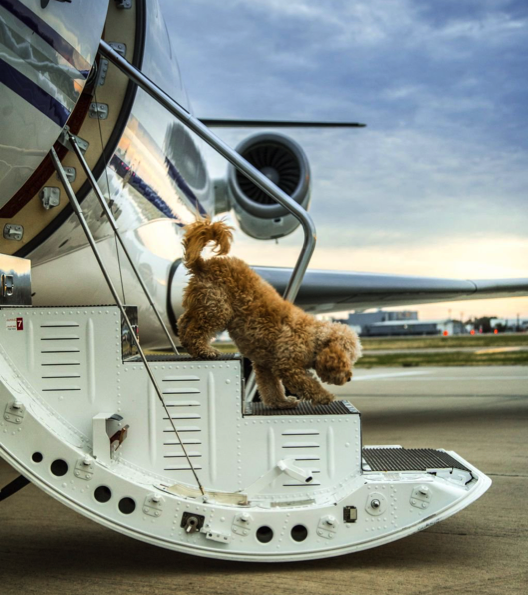 Dog walking down the stairs of a private jet charter